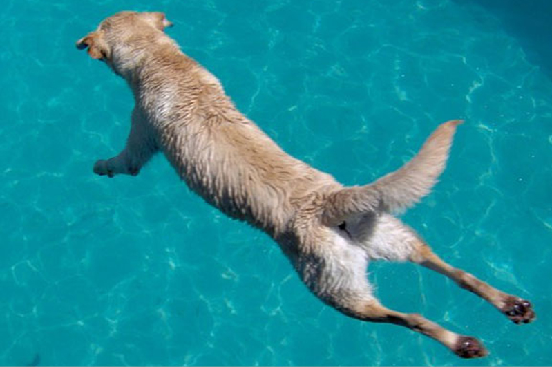 A dog jumping in the swimming pool
