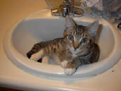 Chester the kitten in the sink