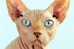 a sphynx cat with green eyes
