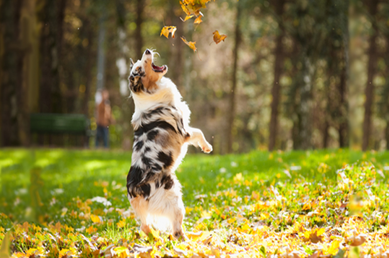 Dog Jumping at Leaves