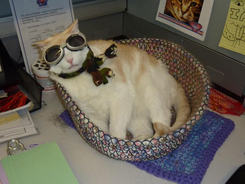 cat in goggles